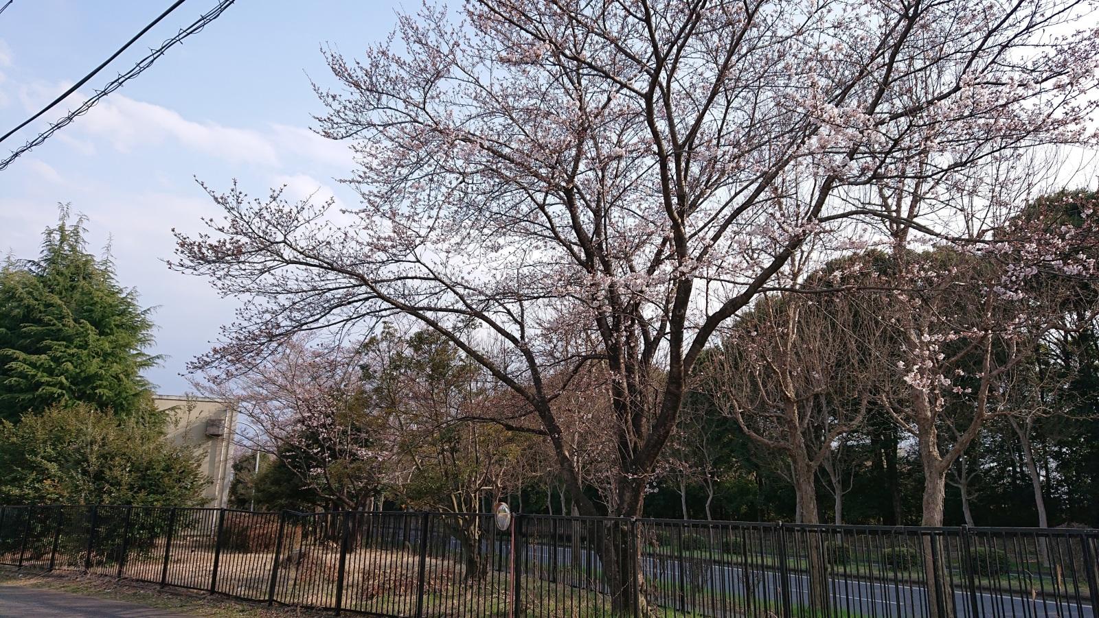 会社横の桜